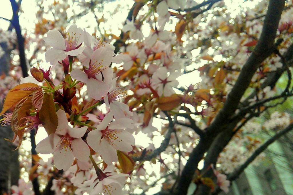 立命館の桜